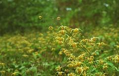 Barrenwort (Fiddling Bob) Tags: barrenwort akabishopshat yellow flower film spotmatic vintagecameras vintagelens m42 takumar