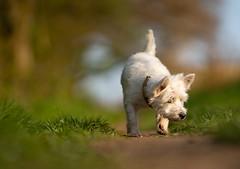 Roaming around (VintageLensLover) Tags: pippa westies westhighlandwhiteterrier dof schärfentiefe schärfeverlauf sonya7iii bokeh bokehlicious terrier hund tiere haustiere