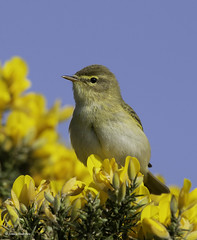 Willow Warbler (jonny.andrews65) Tags: wollow warbler newtownards lead mines countydown northernireland nikon d7200 200500 vr