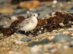 Sanderlings (LouisaHocking) Tags: sanderling wader seabird marazion southwest cornwall england wild wildlife coast beach british bird