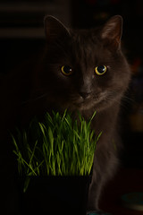 Cat Grass (flashfix) Tags: april202019 2019inphotos flashfix flashfixphotography ottawa ontario canada nikond7100 40mm kittynose fyero nebelung ragamuffin ragdoll fluffy graycat blackandwhite monochrome portrait intense grass flash staredown