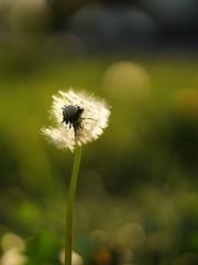 blaasbloem (Schagie) Tags: flower bloem paardebloem lente spring grasveld onkruid grass park natuur nature bokeh beautiful groen green