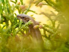 P4227116 (gert.lutter) Tags: photo lizard fauna closeup zootocavivipara arusisalik