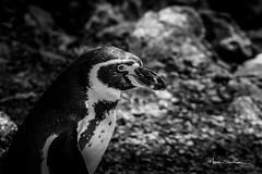 Regard de manchot (Anne Sarthou . Photographie) Tags: beauval animal animaux animals zoo zooparc animalier oiseau manchot
