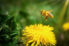 Fliegender Pollenhamster (buchsammy) Tags: 2019 bee beepollen biene blütenpollen honeybee honigbiene insekt landeanflug landingfinish löwenzahn natur sonnenschein sony sonyrx100v bitzer buchsammy dandelion fliegen flying insect nature ralf sunshine