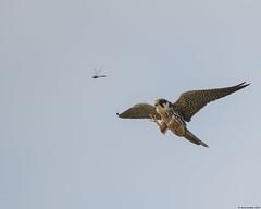 Hobby : Falco subbuteo (Jerry Hawker) Tags: hobby falcosubbuteo hobbies falcon falcons claws talons eat feed feeding dragonfly dragonflies hairy