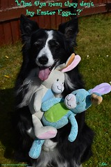 Somebunny to Love (ASHA THE BORDER COLLiE) Tags: cute easter bunny picture dog quote border collie ashathestarofcountydown connie kells county down photography