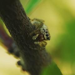 Icius sp. (Johan Leurelle) Tags: macro macrophotography spiderlove jumpingspider spiders natuur nature arachnida