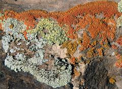 Diversity (arbyreed) Tags: arbyreed earthday lichen close closeup rock organism