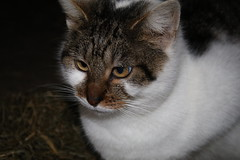 One  of  the farm Mouse catchers (excellentzebu1050) Tags: pet cat farmcat animal animalportraits closeup coth5