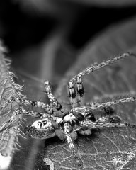 Spider in the Bush (LonánWL) Tags: canoneos200d canonefs55250mmf456isstm closeup blackandwhite blackwhite blackwhitephotos bush macro insect spider leef nature outdoor outside buisson insecte araignée feuille dehors exterieur focusstacking