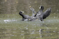 Kung fu fighting! (bboozoo) Tags: oiseau bird foulque coot combat fight nature animal wildlife canon6dmarkii tamron150600 lake lac eau water