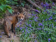 Adult Fox (cjf3 - f15tog) Tags: fox adultfox bluebells woods bigears bigeyes dusk