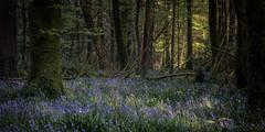 Island Wood Park Bluebells (Phillip Kerins) Tags: bluebell islandwood newmarket cork ireland spring forest wood flower