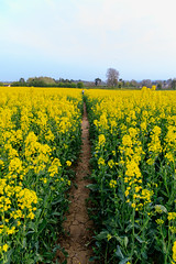 20190418 0092 Rapeseed Flowers Field Walk Kibworth Harcourt Leicestershire (rodtuk) Tags: 4star england flipublic flickr flower food kibworth kibworthharcourt leicestershire midlands misc nature phototype places plant rating uk wip
