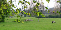 20190418 0089 Lambs Field Walk Kibworth Harcourt Leicestershire (rodtuk) Tags: 4star agricultural england flipublic flickr food kibworth kibworthharcourt leicestershire mammal midlands misc nature phototype places rating uk wip