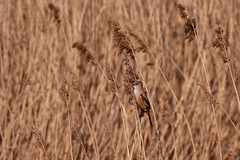 Bearded Tit female (VaughanG) Tags: beardedtit reedbed humber sonyrx10m4