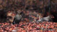 Le buffet des jaseurs (Marie-Josée Lévesque) Tags: oiseaux birds oiseauxduquébec nature faune wildlife printemps spring ornithologie québec canada bokeh nourriture