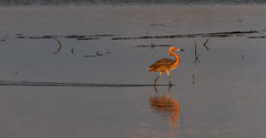 Egret on a stroll. (Jim Liestman) Tags: dingdarlingnwr reddishegret sunrise