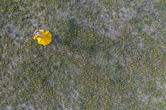 Yellow, yellow, yellow (piotr_szymanek) Tags: agnieszka woman outdoor drone fromabove meadow yellow dress 20f agnieszkal