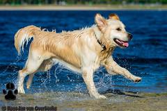 _KJM5625_20190422_180121 (KJvO) Tags: dex dog goldenretriever hilgelo hond water animal dier