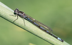 Variable damselfly m (Steve Balcombe) Tags: insect odonata zygoptera coenagrion pulchellum variable damselfly male westhaymoor nnr somerset levels uk