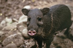 Collared Peccary (proyectoasis) Tags:
