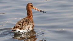Black Tailed Godwit 220419  (1) (Richard Collier - Wildlife and Travel Photography) Tags: birds british britishbirds wildlife naturalhistory nature blacktailedgodwit rspblodmoor dorset dorsetwildlife naturethroughthelens coth5