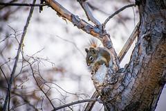 Up to no Good (PasDave770) Tags: squirrel saskatoon sk canada