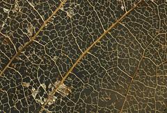 magnolia leaf (stempel*) Tags: polska poland polen polonia gambezia rogów pentax k30 macro arboretum makro leaf liść magnolia