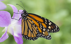 Butterfly 2019-8 (michaelramsdell1967) Tags: butterfly butterflies nature macro animal animals insect insects vivid vibrant upclose closeup orange black purple flower beauty beautiful white monarch monarchs detail delicate fragile lovely pretty garden spring wings zen