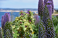 Pacific Grove Flowers (Ian E. Abbott) Tags: berwickpark pacificgrove montereybay