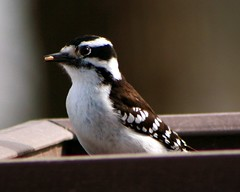 Female Downy Woodpecker with Seed 4 (Emily K P) Tags: bird wildlife animal dorothycarnes park songbird birdfeeder downywoodpecker downy woodpecker black white pattern female seed food feeding eating perched sitting