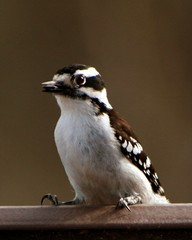 Female Downy Woodpecker with Seed 2 (Emily K P) Tags: bird wildlife animal dorothycarnes park songbird birdfeeder downywoodpecker downy woodpecker black white pattern female seed food feeding eating perched sitting