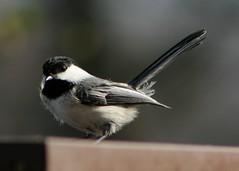 Chickadee 2 (Emily K P) Tags: bird wildlife animal dorothycarnes park songbird birdfeeder blackcappedchickadee chickadee grey gray black