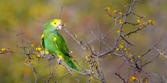 Lora! (Gérard & Beth) Tags: bonaire caribbean netherlandsantilles bird lora parrot threatened perched brazil tree brasiletto haematoxylonbrasiletto feathers neotropical vulnerable species
