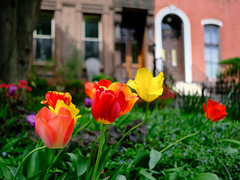 Spring Tulips and Row Houses (Dalliance with Light (Andy Farmer)) Tags: tulips rowhouses spring street fairmount flowers philadelphia philly pennsylvania unitedstatesofamerica
