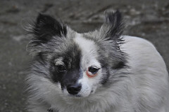 I am black and white !!!! (Lopamudra !) Tags: lopamudra lopamudrabarman lopa pet portrait dog animal kalimpong darjeeling himalaya himalayas india westbengal blackandwhite pretty love cute beauty beautiful