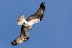 Osprey (Gary R Rogers) Tags: bird osprey dive ospreyhawk flight jacksonbottom