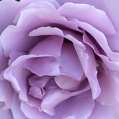 Evening (Melinda * Young) Tags: flower rose purple lilac mauve petals evening dark center frame macro