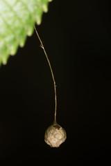 "Spidery egg sac (zosterops) Tags: spider arachnida australia tasmania ""liffey falls track"" canoneos6d canonmacrolensmpe65 macro insecta"