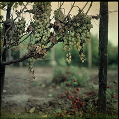 Grapes (Boldizsár Nádi) Tags: orwo color 120 120film expired film celluloid negative pentacon six tl carl zeiss jena biometar 80 f28 dgr mediumformat medium format grain squareformat 6x6 orwocolor nc 19 nc19 analog analogue analogphotography analogphotohrapher filmphotography filmgrain negativephotography argentique season hungary autumn grapes rotten