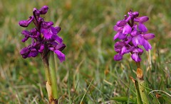 Green-winged Orchid or Green-veined Orchid (Anacamptis morio) 170419 (7) (Richard Collier - Wildlife and Travel Photography) Tags: orchid greenwingedorchid anacamptismorio flowersenglishflowers flowers wildflowers britishwildflowers flora dorset