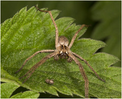 Ragnetto (grazia.bianchi) Tags: aracnidi spiders aragnas aranyes arachnida aràcnidos aràcnids spindeldjur sammetshjulspindel hjulspindlar