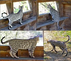 The cat in the bird hide, Beckford Nature Reserve, Worcestershire (alanhitchcock49) Tags: beckford nature reserve worcestershire 21 april 2019 cat mosaic collage bird hide