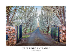 Entrance of tree lined drive way in full flower (sugarbellaleah) Tags: driveway trees avenue flowers white lane beautiful cherryblossom afternoon sunlight pretty rural farm farmland entrance gates sky countryside open centralwest australia stonewall