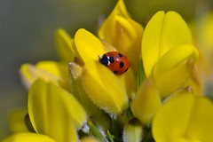 7-spot in gorse (conall..) Tags: sevenspot ladybird ladybug sevenspotladybird nikon afs nikkor f18g lens 50mm prime primelens nikonafsnikkorf18g closeup raynox dcr250 macro ulex europaeus gorse bush shrub scrub yellow flower county down tullynacree nw551041 annacloy field northernireland
