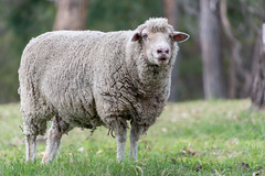 Sheep in Rural Paddock (Merrillie) Tags: sheep australia rural newsouthwales animal paddock countryside country thehillsshire woolly southmaroota countrylife outdoors farm fauna sydney woolen ewe