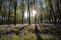 Bluebells in Itchen Wood (Perrier Pictures (A/c 2)) Tags: hampshire micheldeverwoods bluebells flowers nature