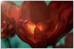 Im Licht / In the light (Reto Previtali) Tags: macro rot tulpen blumen blume red frühling gelb yellow light licht flickr digital tamron sigma blatt sun sonne sommer outside art coth5